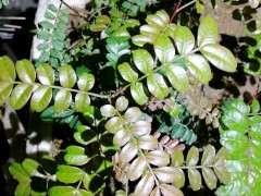 清香木下山桩种4个打月 己经第二次长芽