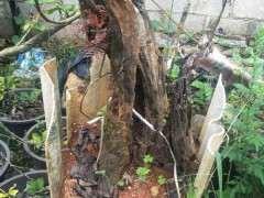 清香木下山桩的老皮 居然发芽了 图片
