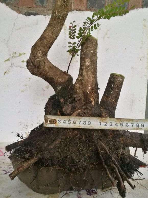新挖 小叶红芽清香木下山桩 价格260 图片
