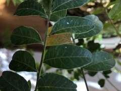 清香木下山桩有虫子 用什么杀虫剂 图片