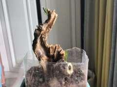 刚发芽的金豆下山桩怎么养护的方法 图片