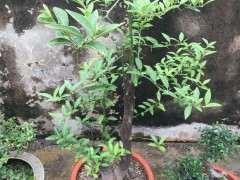 金豆下山桩下山桩种1年了 怎么不开花