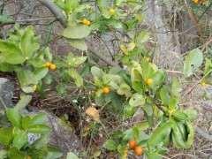 今天又发现一座山的野生金豆下山桩 图片