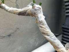 倒栽金豆下山桩终于发芽了 怎么样 图片