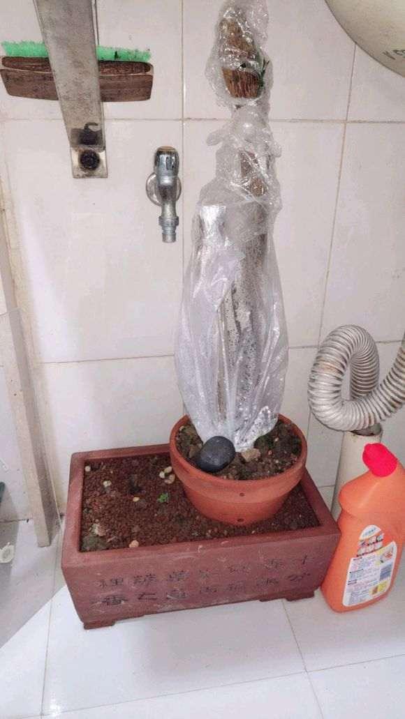 金豆下山桩怎么用河沙栽培的方法 图片