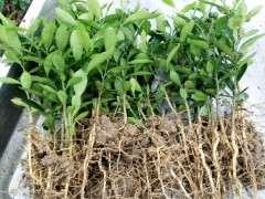 去年上盆的金豆下山桩小苗 长势不错