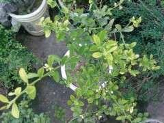 金豆下山桩叶子发黄是缺什么肥 图片