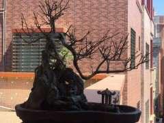 盆栽的对节白蜡下山桩几天浇水1次 图片