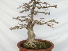 夏季移栽对节白蜡下山桩树能活吗 图片