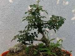 对节白蜡下山桩叶子上有虫 怎么办 图片