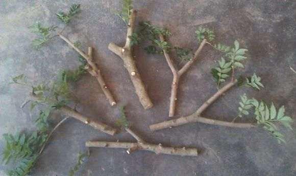 对节白蜡下山桩枝条怎么扦插的方法 图片