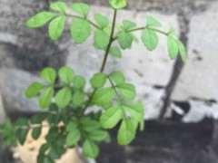 对节白蜡下山桩的叶子怎么怪怪的 图片