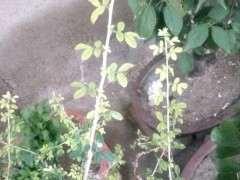为什么金雀下山桩长的叶子是黄的 图片