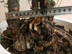 潍坊哪里有野生金雀下山桩资源 图片