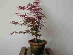 养红枫下山桩怎么配土施肥的方法 图片