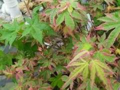 红枫下山桩长出了绿杆绿叶 怎么办 图片
