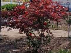 为什么红枫下山桩太阳太大 注意避晒