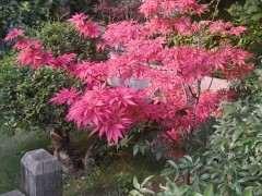 6月红枫下山桩可以摘叶转红吗 图片