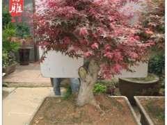 冬天种红枫下山桩会不会冻死 图片