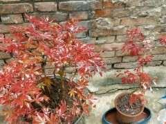中国红枫下山桩有品种区别吗 图片