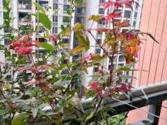 红枫下山桩的害虫怎么防治  图片