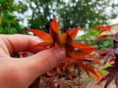 红叶的红枫下山桩是哪种品种 图片