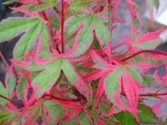前景最好的红枫下山桩品有哪几个