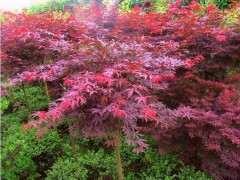 为什么红枫下山桩用营养土种最好 图片