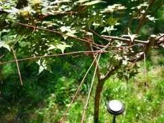 为什么红枫下山桩 夏天叶子都会返绿