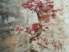 红枫下山桩的叶子不是这么红色 怎么办