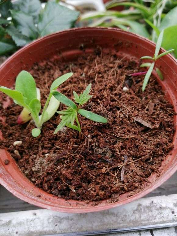 红枫下山桩20多天了还没发芽 怎么办