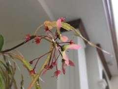 今年红枫下山桩 突然开花结果了 图片
