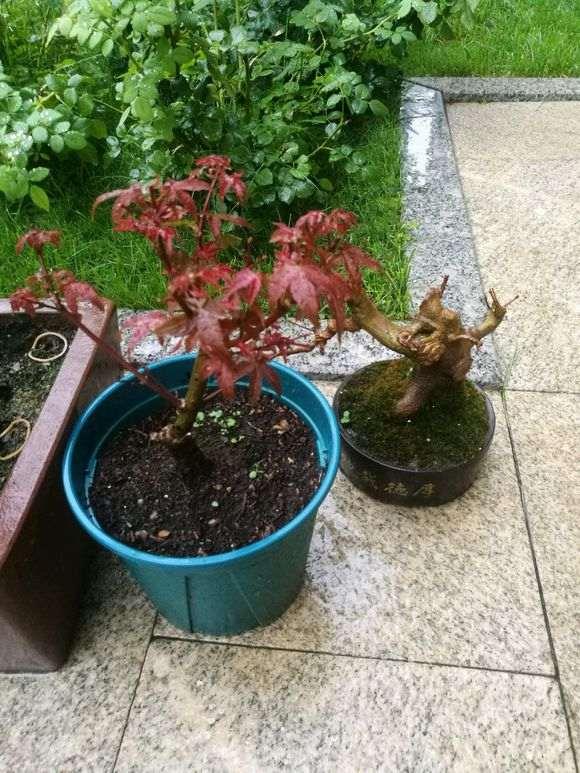 红枫下山桩一直不长叶子 怎么办 图片