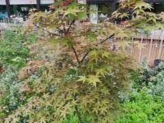 这是什么品种的红枫下山桩 图片