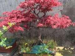 红枫下山桩就黑杆 养不活 怎么办 图片