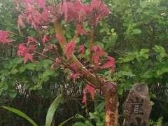 红枫下山桩需要摘些叶子吗 图片