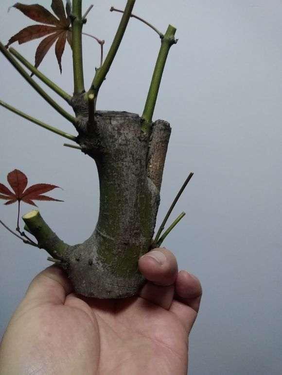 红枫下山桩怎么扦插的实验 图片