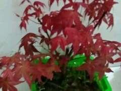 新买的红枫下山桩怎么养活 图片