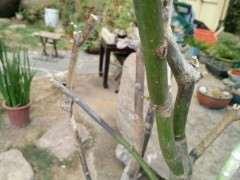红枫下山桩叶子干了之后 只发芽 图片