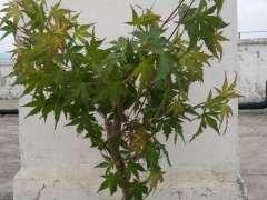为什么红枫下山桩的老枝很容易扦插