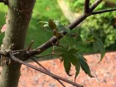 红枫下山桩枯叶怎么办 新芽也枯了 图片