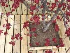 红枫下山桩叶子为什么都焉了 怎么办