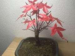 养红枫下山桩有什么注意事项吗 图片