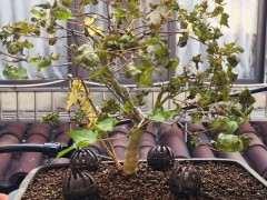 红枫下山桩发芽枯叶 就自己掉了 图片