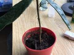 红枫下山桩枝条怎么使用生根粉 图片