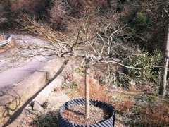 日本红枫下山桩 成株大概多高 图片