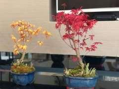 室内阳台养红枫下山桩 成功了 图片