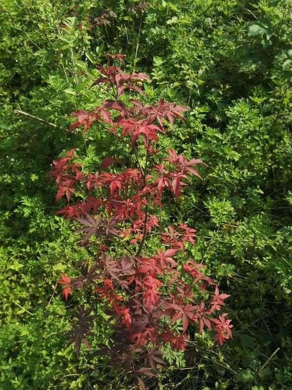 红枫下山桩 除了落叶都是红叶 怎么办
