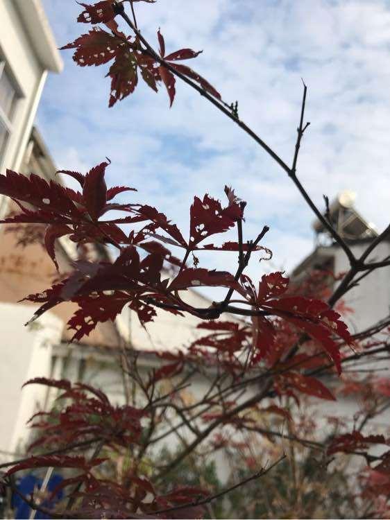 红枫下山桩好多虫 该打什么药 图片