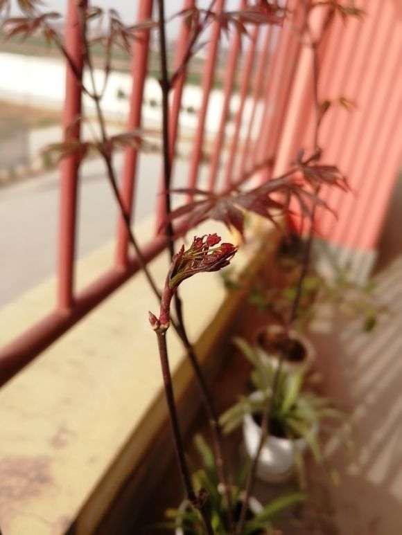 红枫下山桩 新叶带毛 颜色黑红 怎么办